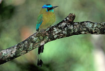 Blue-crowned motmot by Danita Delimont