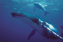 Humpback whale and calf von Danita Delimont