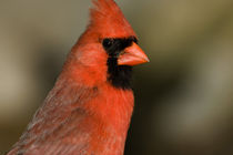 Northern Cardinal close up portrait von Danita Delimont