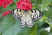 Paper Kite butterfly von Danita Delimont