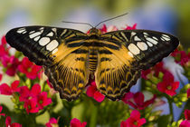 Washington Tropical Butterfly Photograph of Parthenos sylvia philippensis the Brown Clipper by Danita Delimont