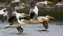 White Pelicans in flight at Lake Naivasha von Danita Delimont