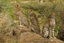 Cheetahs at Samburu NP von Danita Delimont