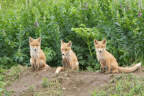 Red Fox von Danita Delimont