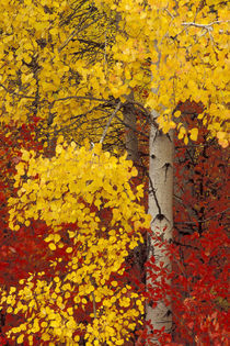Aspen trees with golden leaves by Danita Delimont