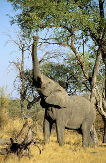 African Elephant (Loxodonta africana) von Danita Delimont