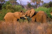 Elephant challenge (Loxodonta africana) by Danita Delimont