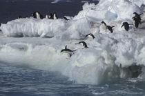 Antarctic Peninsula Adelie Penguins von Danita Delimont