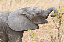 Young Elephant at Tarangire NP by Danita Delimont