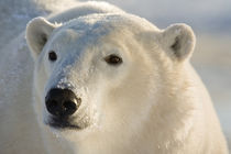 Portrait of polar bear von Danita Delimont