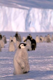 Emperor Penguin chicks (Aptenodytes forsteri) by Danita Delimont
