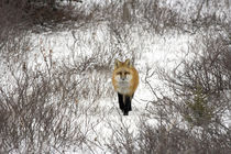 Red Fox in Churchill Manitoba Canada von Danita Delimont