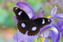 Sammamish Washington Tropical Butterflies photograph of Asian Hypolimnas bolina the Great Eggfly Butterfly with eyespots on wings by Danita Delimont