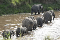 African elephant crossing Mara River by Danita Delimont