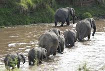 African elephant crossing Mara River von Danita Delimont