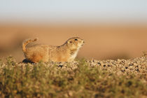 Black-tailed Prairie Dog (Cynomys ludovicianus) at a burrow in a prairie dog town von Danita Delimont