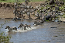 Mara River wildebeest and common zebra crossing by Danita Delimont