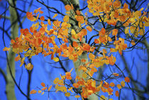 Aspen leaves that have taken on an unusual orange color in the fall by Danita Delimont