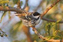 Spring migration von Danita Delimont