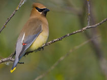 Cedar Waxwing perched on branch by Danita Delimont