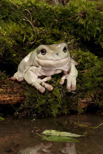 White's Treefrog; Litoria caerulea; Native to Australia; controlled situation by Danita Delimont