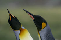 King penguins in courtship display von Danita Delimont