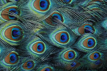 Pattern in male peacock feathers von Danita Delimont