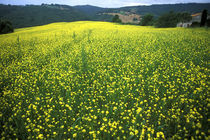 Beautiful yellow flower covered fields of San Gimignano in Tuscany Italy von Danita Delimont