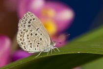 The pale grass blue Butterfly (Pseudoszizeeria maha maha) on Leaf by Danita Delimont