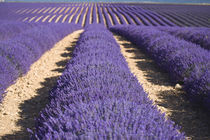 Rows of lavender in bloom by Danita Delimont