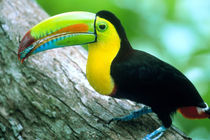 Borro Colorado Island Keel billed toucan (Ramphastos sulfurtus) with a cicada in its bill by Danita Delimont