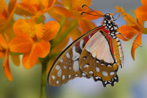 Sammamish Washington Tropical Butterflies photograph of Graphium angolanus the African White Swallowtail Butterfly on little orange Orchid by Danita Delimont