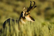 A Pronghorn buck (Antilocarpa americana) by Danita Delimont