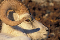 Dall sheep (Ovis dalli) portrait von Danita Delimont