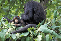 Gombe NP Female chimpanzee (Pan troglodytes) Mother in nest grooming infant daughter by Danita Delimont