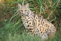 Bobcat (Felis rufus) by Danita Delimont