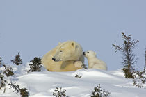 Polar bear cub trying to get mother's attention by Danita Delimont