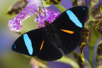Washington Tropical Butterfly Photograph of Neotropical Nessaea aglaura the Blue-banded Nymph on Orchid von Danita Delimont