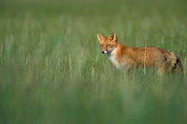 Vulpes vulpes (red fox) in grass von Danita Delimont