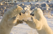 Sparring polar bears by Danita Delimont