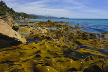 Kelp beds along coast at Lee Bay von Danita Delimont