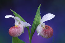 Showy Lady's Slippers (Cypripedium reginae) by Danita Delimont