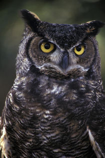 Great Horned Owl (Bubo virginianus) von Danita Delimont
