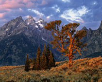 A lone cedar tree is colored by early morning sun at Grand Teton National Park in Wyoming by Danita Delimont