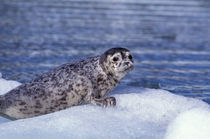 Harbor seal pup on ice by Danita Delimont