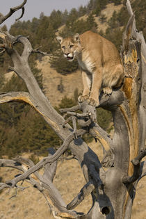 In tree near Yellowstone NP von Danita Delimont