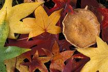 Fall leaves and toadstool von Danita Delimont