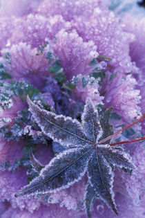 Mill Creek Frost-covered shrubs and maple leaf von Danita Delimont