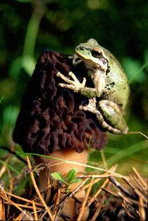 Treefrog on Morel von Danita Delimont
