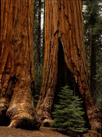 Sequoia National Park by Danita Delimont